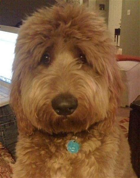 face hairstyle goldendoodle my sweet goldendoodle louie louie love pinterest