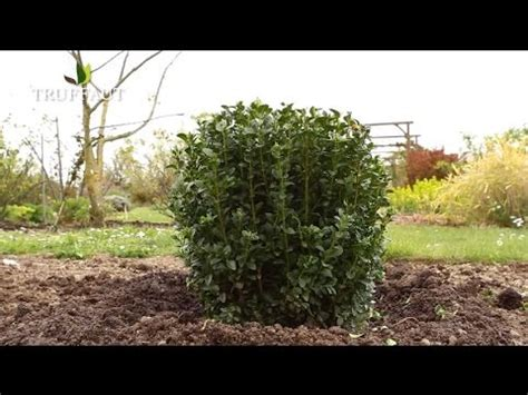 Planter Du Buis by Comment Planter Du Buis Jardinerie Truffaut Tv