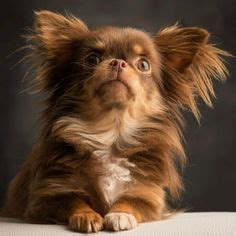 do teacup yorkies bark a lot explore yorkie haircuts pictures and select the best style for your pet yorkie