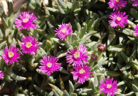 pianta grassa con fiori rosa fiori di piante grasse sbocciano fiori tv