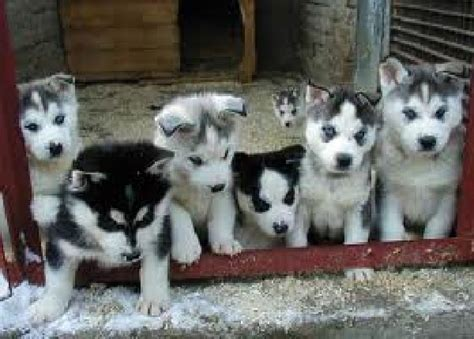 siberian husky puppies for sale in alabama siberian husky puppies for sale offer kuwait ali al salem