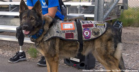 va service dogs paws act allows va money to cover service dogs for vets with ptsd the veterans site