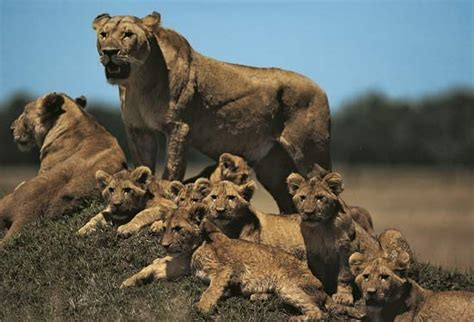 difference between lion and lioness lion and lioness and cubs