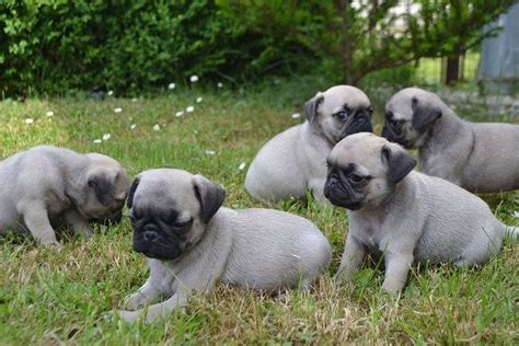 pugs ireland pug sale ireland pug puppies buy buy pug breeders pug dogs breed pug dogs for adoption