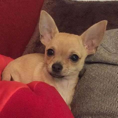 how many puppies do chihuahuas the time 1188 best chihuahuas images on baby chihuahua chihuahua and chihuahua dogs