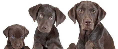 what age is a puppy how to determine a s age tips