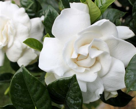 Gardenia In Cuidados De Las Gardenias