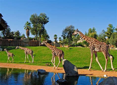 ver imagenes jirafas la nueva jirafa del bioparc cumple 1 a 241 o de vida oconowocc