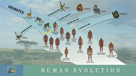 drakorindo history of walking upright timeline need to and human evolution on pinterest