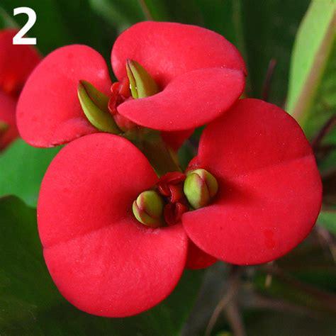 fiore ii fiori di fibonacci
