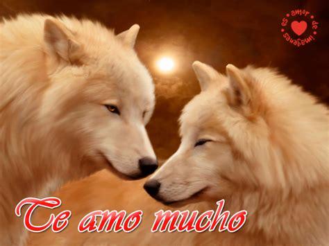 imagenes sorprendentes de lobos hermosos lobos blancos con frases rom 225 nticas