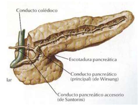 il fegato porta dolore digestivouq p 193 ncreas por daniela navia