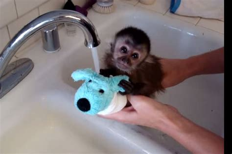 this baby monkey was scared to take a bath but he