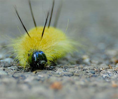 Caterpillar Yellow and the peanut american dagger moth caterpillar