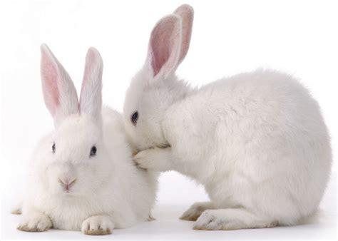 Bunny White why adopt a white bunny the rabbit corner