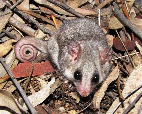 pygmy animal species    world mnn