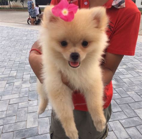 taking care of a pomeranian how to take care of a pomeranian with pictures wikihow