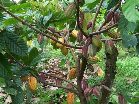 wallpaper pohon coklat kakao die super nahrung aktiv mit spa 223