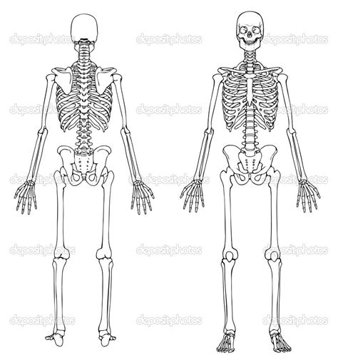 human bones diagram human skeleton unlabeled tenderness co