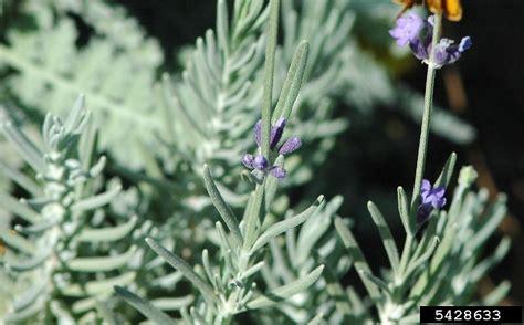 lavandula angustifolia english lavender go botany