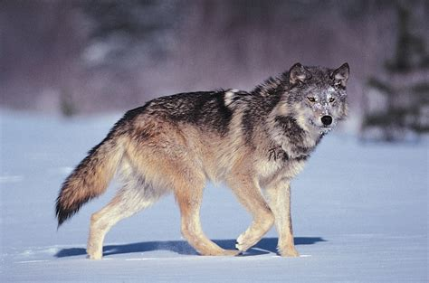 wolf s reckless killing of yellowstone s celebrated wolves