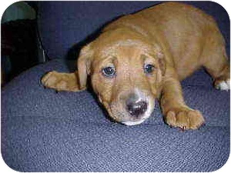 bulldog and golden retriever mix american bulldog golden retriever mix