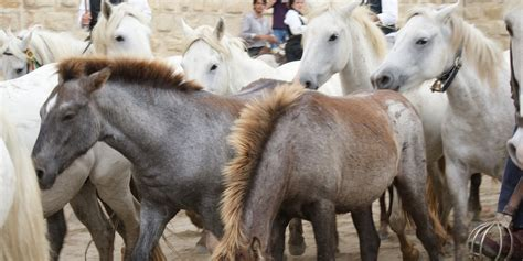 cheval homes for informations sur le cheval camarguais