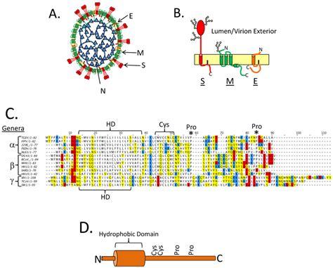 n protein coronavirus viruses free text the coronavirus e protein