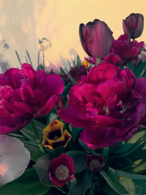 come coltivare le calle in vaso come coltivare le calle in vaso trendy with come