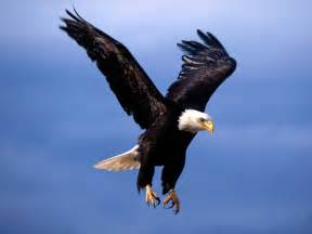 american eagle pictures bald eagle fearsome flight