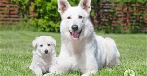 average lifespan of a german shepherd german shepherd breed information shepped