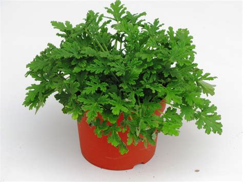 pflanzen garten versand pflanzen versand bepflanzter balkonkasten 60 cm