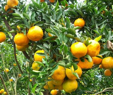 Jual Bibit Jeruk Nipis Sudah Berbuah tanaman jeruk keprok batu 55 bibitbunga