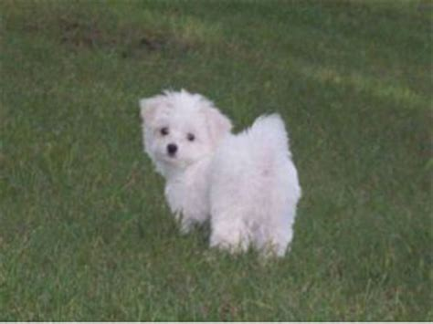 pupcity puppies for sale maltese puppies for sale