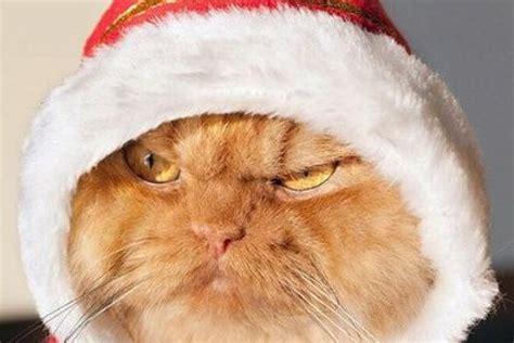 imagenes uñas gatos домашні тварини готуються до нового року українські новини