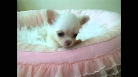 how to a chihuahua to be a therapy how to make your a therapy