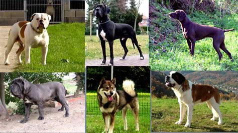 abotonada con un perro noticias de los mundos mundo las 20 razas de perros m 225 s peligrosas mundo noticias