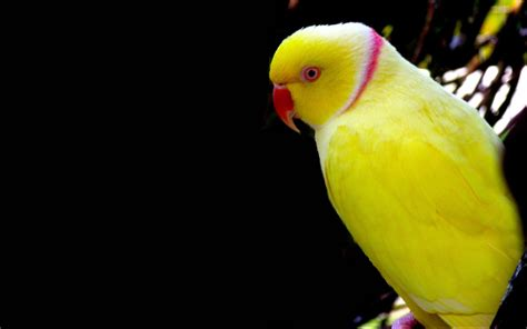 yellow parrot wallpaper hd  mobile phone laptop  pc