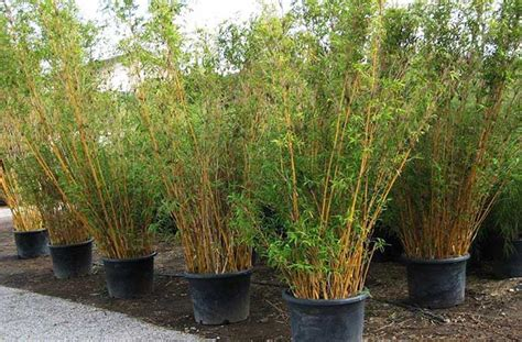 the complete guide to buying the best bamboo sheets of 2018 buy timor black bamboo plants