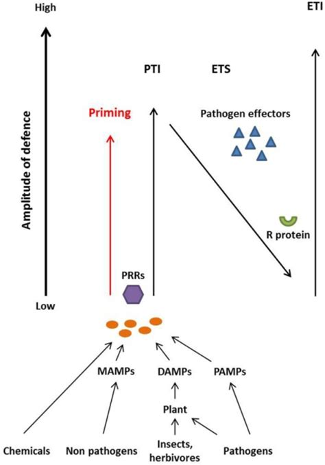 pattern recognition receptors in plants and effectors in microbial pathogens plants recognize chemical elicitors microbe associated