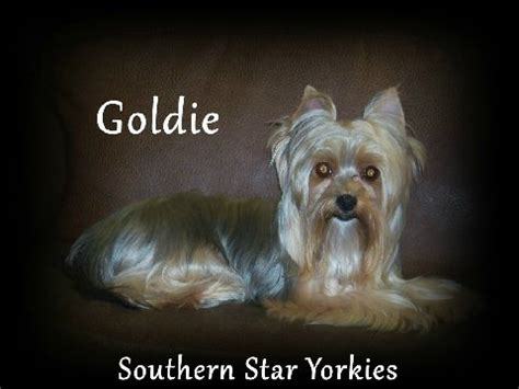 goldies yorkies southern yorkies