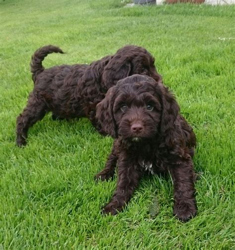 sproodle puppies beautiful sproodle puppies for sale uttoxeter staffordshire pets4homes
