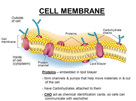 carbohydrates in the cell cell theory types of cells organelles ppt