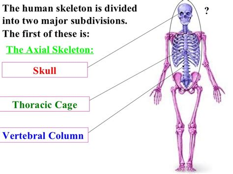 the human skull is divided into what two sections skeleton system review