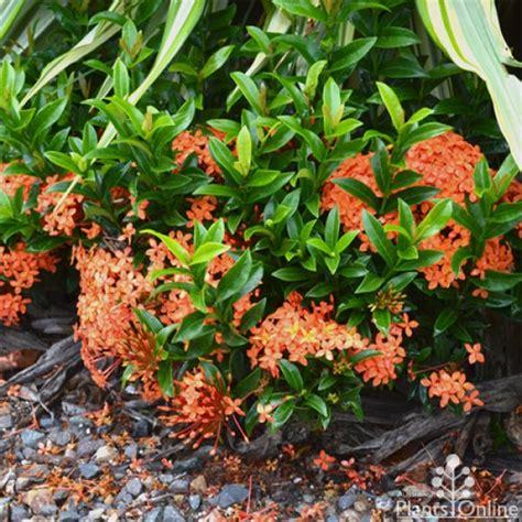 Vertical Garden Online - ixora dwarf orange australian plants online