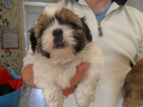 shih tzu puppies for sale lancashire shih tzu puppy for sale ready 12th may burnley lancashire pets4homes