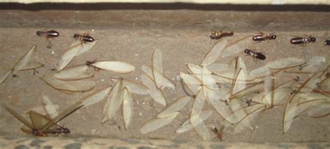 termites landcentral