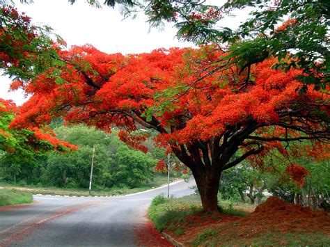 Benihbijibibit Bunga Bonsai Flamboyan Orange flora of cultivated species information individual images delonix regia