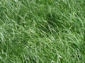 tall fescue high yielding forage grass or toxic and
