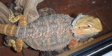 how often do bearded dragons go to the bathroom bearded dragon care how often should my bearded dragon shed